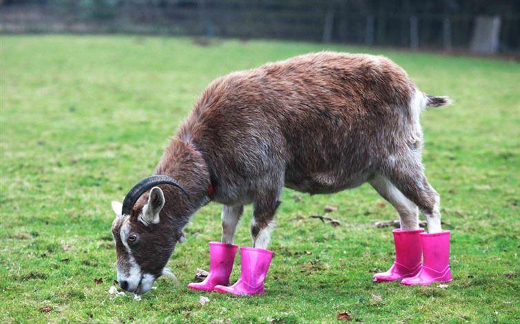 14 Kelakuan hewan pakai sepatu boots, bikin gemas!