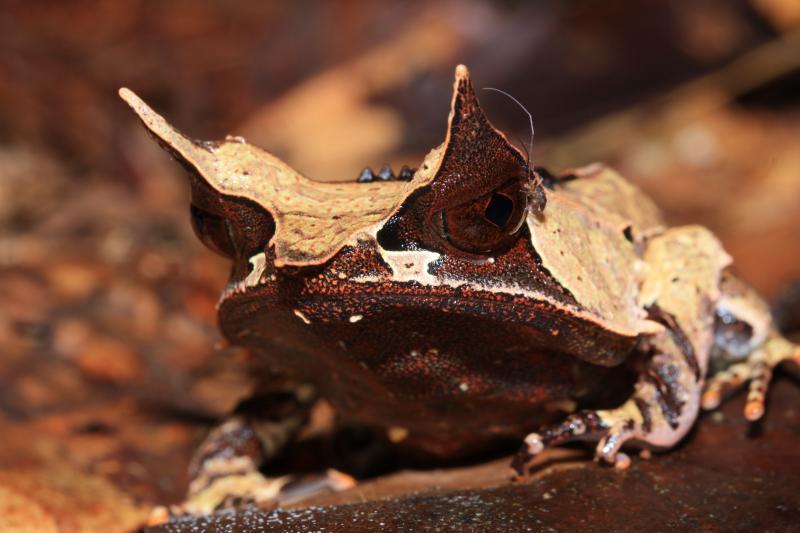 Image result for katak bangkong bertanduk