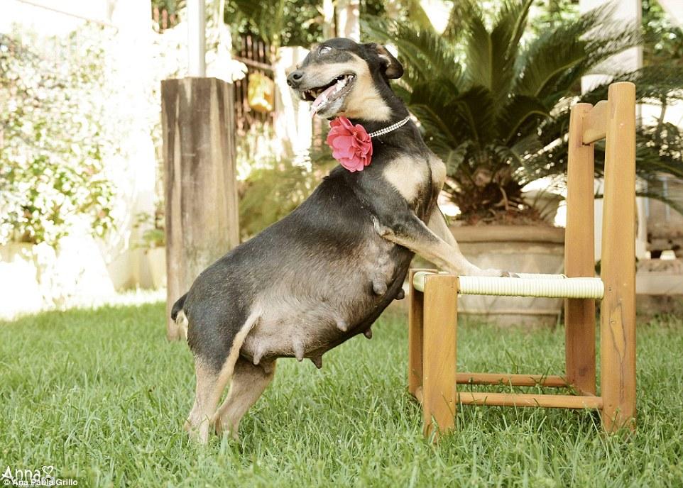 Lilica, anjing yang suka pamer kehamilan layaknya manusia