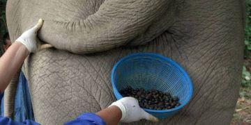 10 Fakta mengagetkan tentang kopi gajah, harganya Rp 14,9 juta/kg