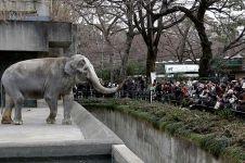 Hanako si gajah paling kesepian di dunia ditemukan mati, duh !
