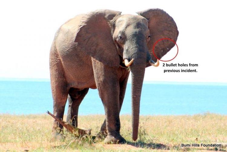 Gajah malang ini nyari bantuan ke sebuah yayasan, kenapa ya?