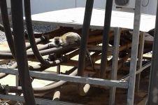 Gara-gara seekor monyet, Kenya gelap total selama 4 jam, duh!