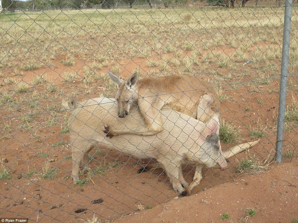 Kanguru dan babi ini sudah setahun berhubungan intim, kok bisa ya?
