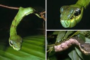 Ulat ini sering disangka ular, menyeramkan!