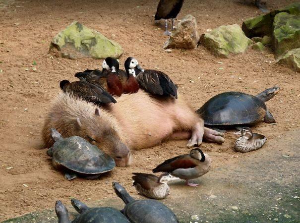 Capybara © 2016 brilio.net