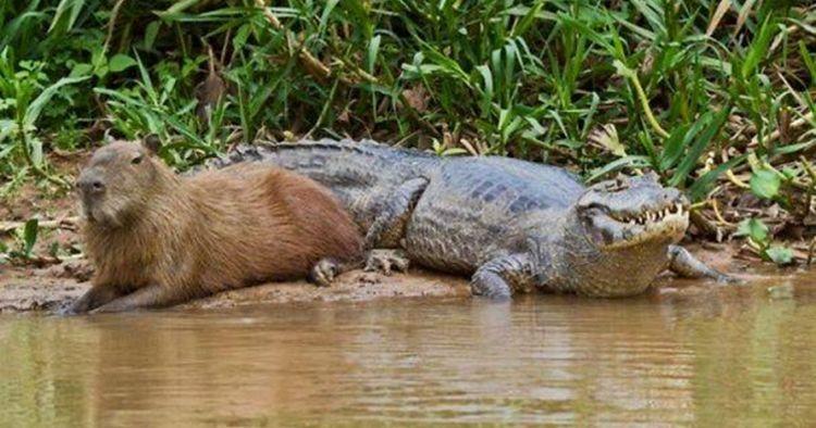 Hewan ini nggak punya predator alami lho, nggak percaya?