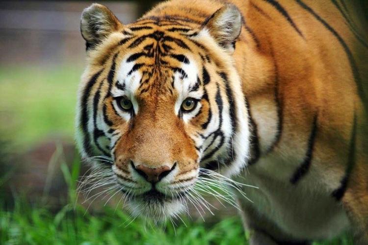 Kematian Harimau Sumatera karena penyakit