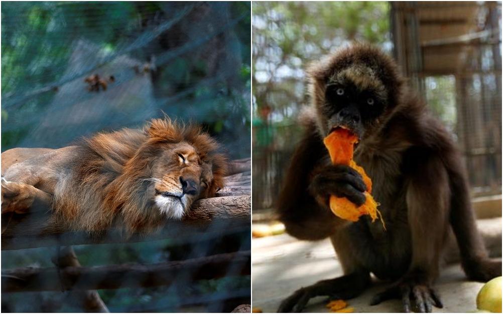 Krisis pangan, singa di kebun binatang ini diberi makan buah & sayur
