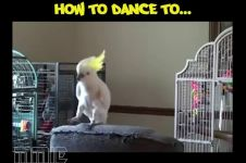 Burung-burung ini piawai menari genre EDM, luar biasa!