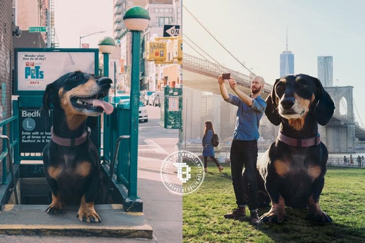 10 Foto anjing 'raksasa' jalan-jalan ini bikin bengong, beneran nggak?