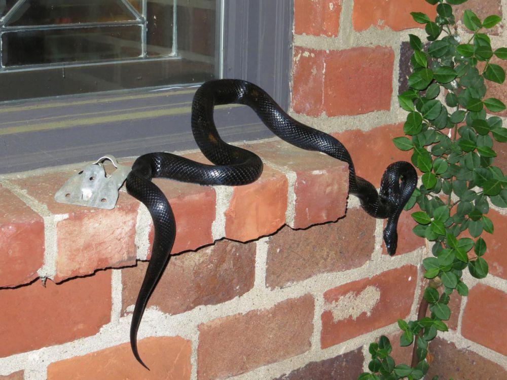 foto ular berwarna hitam pekat © 2016 brilio.net