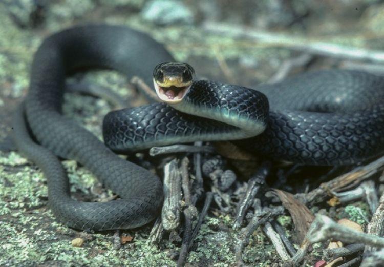 15 Foto ular jenis Black Rat ini bikin merinding, kulitnya hitam pekat