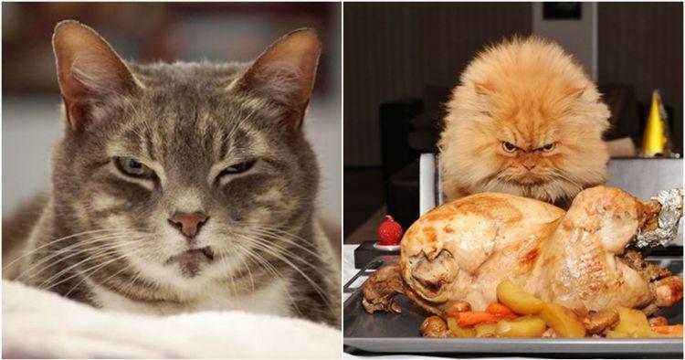 20 Foto Kocak Ekspresi Kucing Kalau Lagi Marah Dan Ngambek Serem