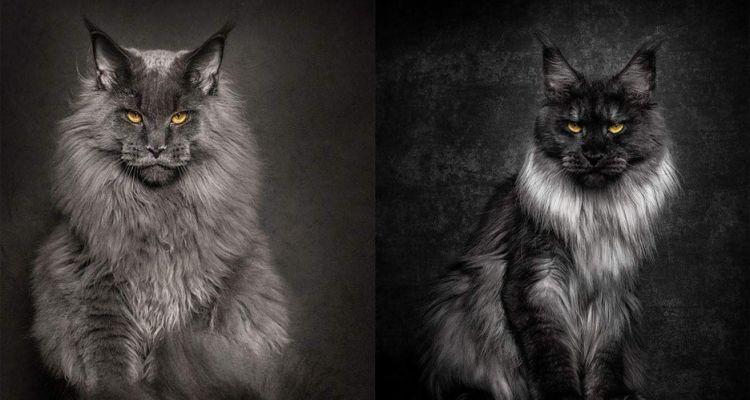 15 Foto Sisi Lain Ekspresi Kucing Ternyata Juga Bisa Gahar