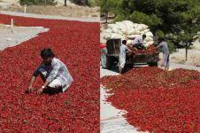 11 Potret petani panen cabai di Turki ini bikin kamu terperangah