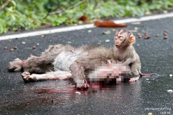 Induk jadi korban tabrak lari, ekspresi anak monyet ini mengharukan