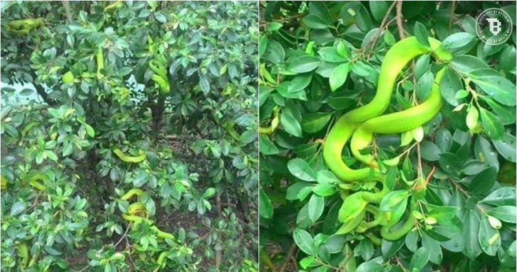 Orang ini memanen puluhan ekor ular pohon, bikin merinding ...