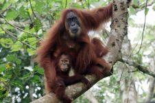 Boros pakai produk mandi sama saja membunuh orangutan lho
