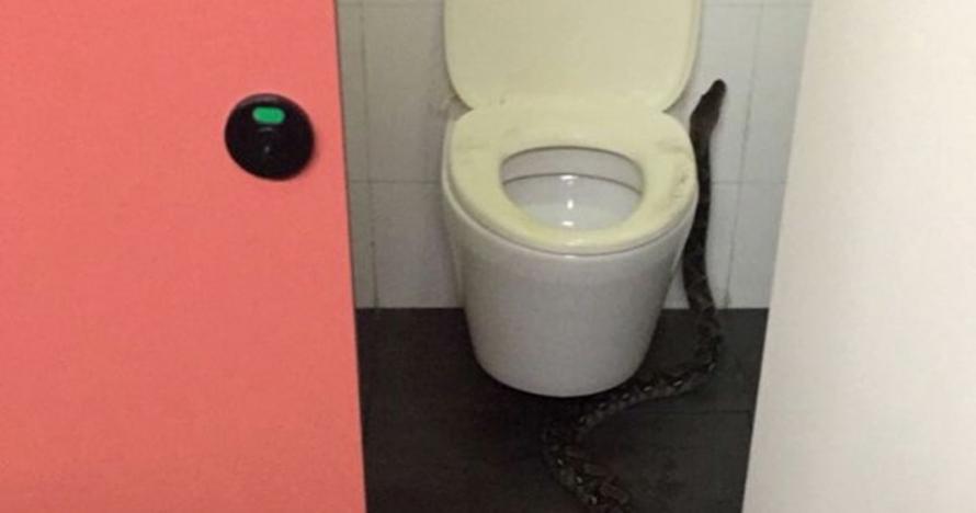 Piton sepanjang dua meter ini ditemukan di kampus beken Singapura