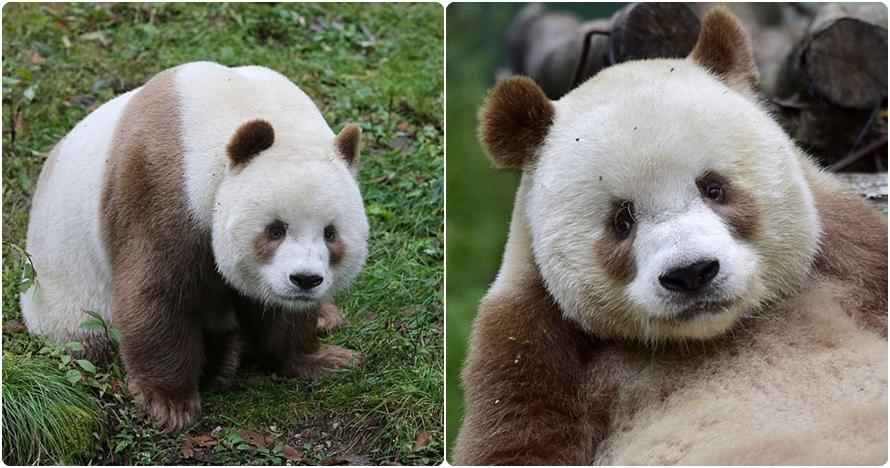 10 Potret lucunya Qizai, satu-satunya panda cokelat di dunia