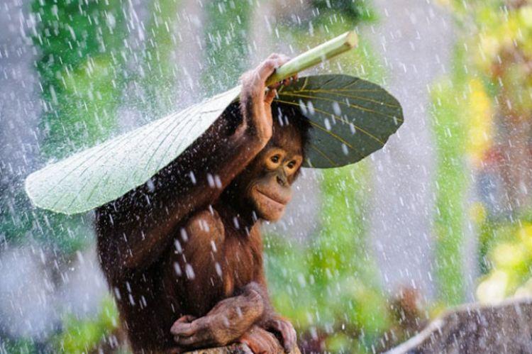 9 Foto orangutan ini pernah menangi kontes fotografi internasional
