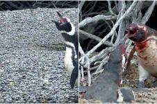 Penguin jantan ini hajar selingkuhan istrinya, endingnya bikin nyesek