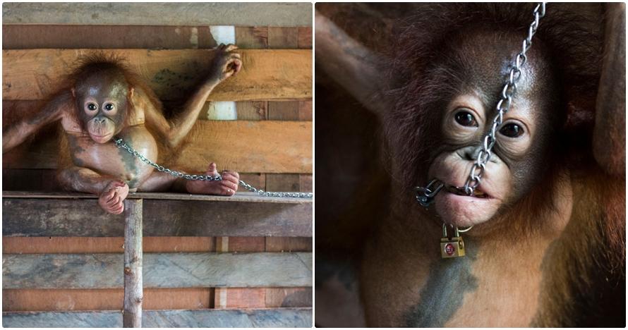 10 Foto bayi orangutan yang dirantai di dapur ini sungguh miris