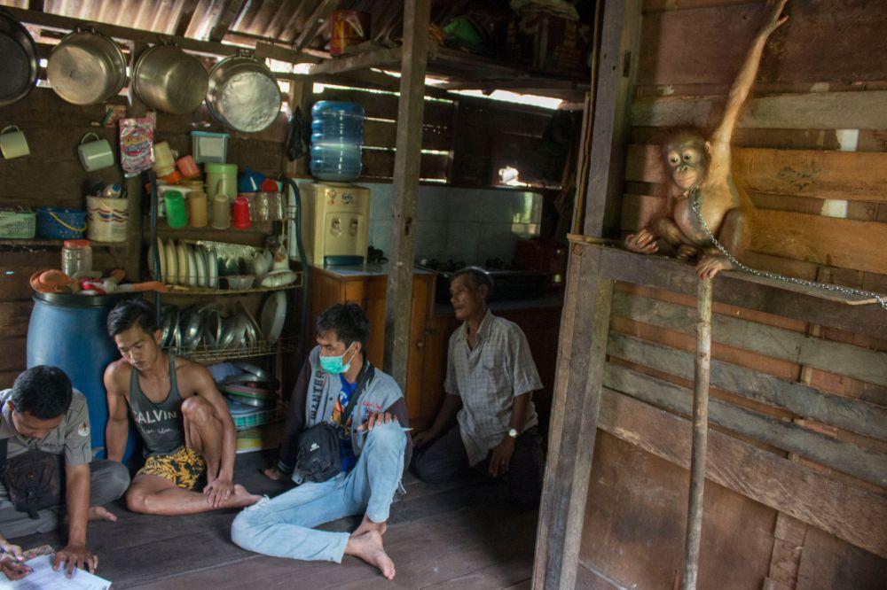 foto bayi orangutan yang dirantai di dapur ini sungguh miris © 2016 mirror.co.uk