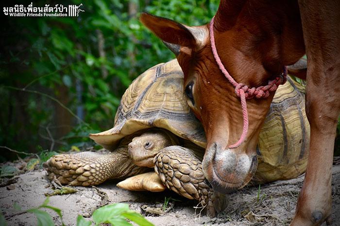 kura-kura sapi © 2016 Wildlife Friends Foundation Thailand