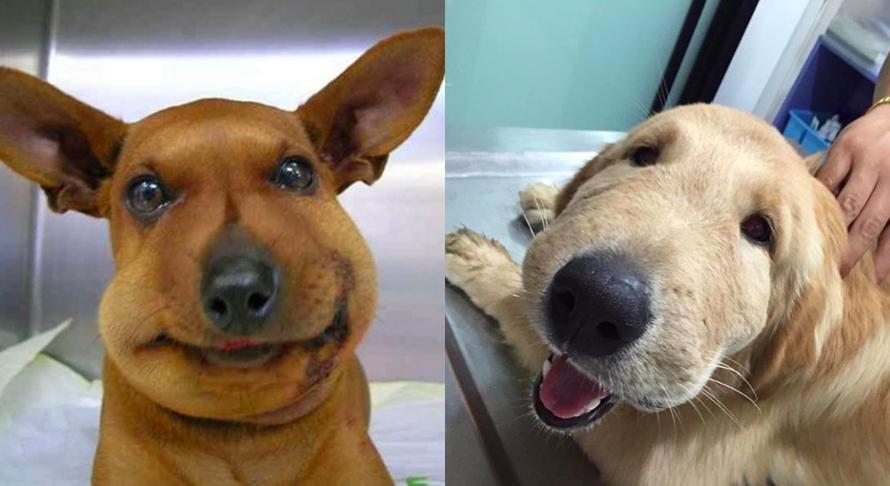 12 Anjing ini bibirnya disengat tawon, bentuknya jadi aneh banget
