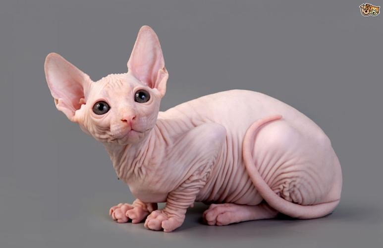 Rogoh kocek Rp 9 juta demi kucing Sphynx, yang didapat wanita ini zonk