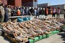 1,5 Ton gading ilegal siap ekspor, bukti pembantaian gajah bikin miris