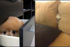 12 Tingkah anjing yang coba bersembunyi ini lucu abis, nggak terduga