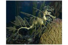 Ditemukan spesies kuda laut berdaun, ini hewan apa tumbuhan ya?
