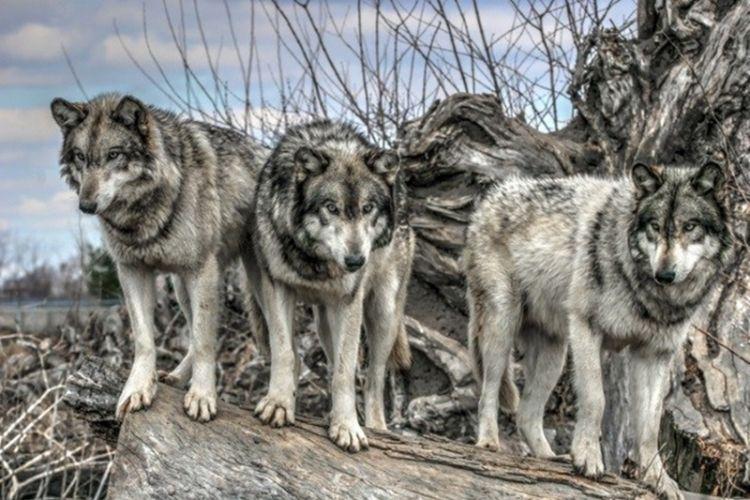 10 Kisah manusia melawan hewan buas, heroik sekaligus mengerikan