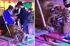 Potret miris harimau diikat supaya bisa ditunggangi pengunjung sirkus
