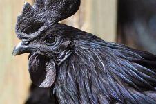 10 Foto ayam cemani, spesies langka yang harganya jutaan rupiah
