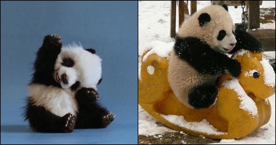 12 Foto Kelakuan Bayi Panda Ini Lucu Banget Menggemaskan Deh