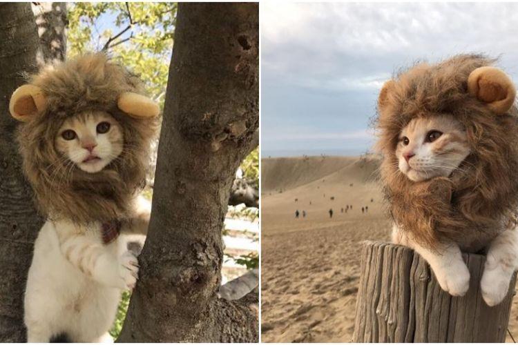 Lucunya Jura Archange Kucing Singa Dari Jepang Yang Menggemask