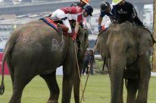 30 Gajah berbobot lima ton bakal ikut kejuaraan polo, emang bisa lari?