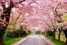 Selain Jepang, ini 14 tempat terbaik untuk melihat bunga sakura mekar