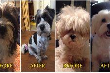 18 Foto hewan sebelum & sesudah potong rambut, lebih ngegemesin mana?