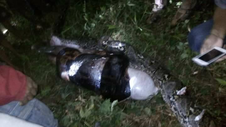 Sehari tak pulang, jasad pria asal Mamuju ditemukan di perut ular
