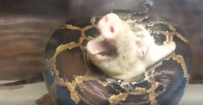 Memberi Makan Ular Piton Dengan Babi Hidup Keluarga Ini Dikecam