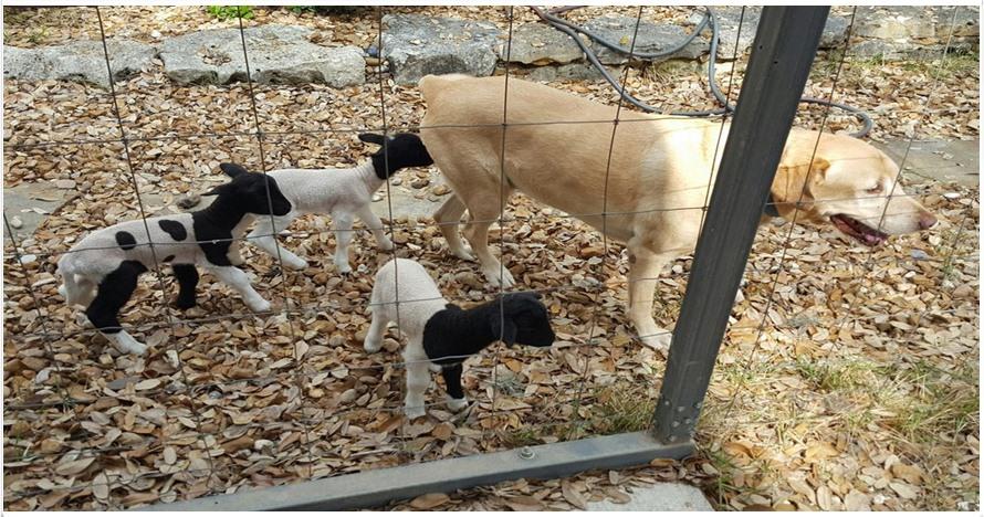 5 Potret anak domba nginduk pada anjing ini bikin gemas sekaligus haru