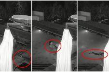 Lagi bercengkrama di kolam renang, pasangan ini kaget diserang buaya