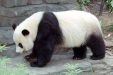 Ini fungsi dari kedua warna di tubuh panda, untuk apa ya?
