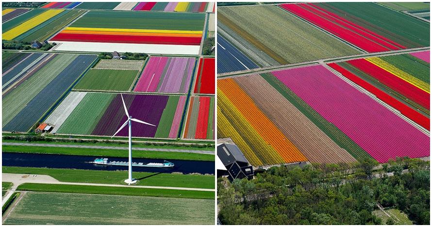 Wow, 9 panorama kebun tulip diprotret dari udara ini indah banget