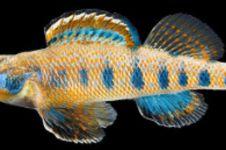 Ikan jenis baru ini diberi nama Obama, kelebihannya apa ya?